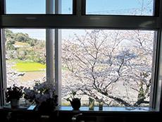 春は庭の桜が満開に